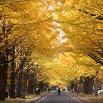 Ginkgo Avenue, Hokkaido University
