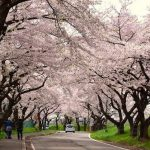 Cherry blossoms corridor