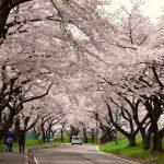 Cherry blossoms corridor