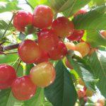 NITORI Sightseeing Orchard (Former Yamamoto Sightseeing Orchard)