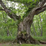 ミズナラの巨木(最上のミズナラ)