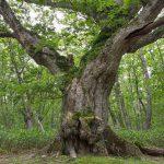 蒙古栎巨树(最上蒙古栎)