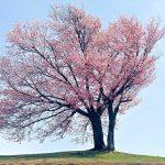 双胞胎的樱花