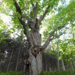 蒙古栎巨树(双葉蒙古栎)