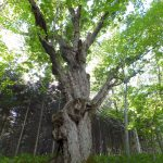 Giant Oak Tree (Futaba Oak)