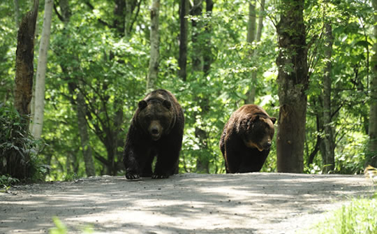 ベアマウンテン ヒグマの森の夜散歩
