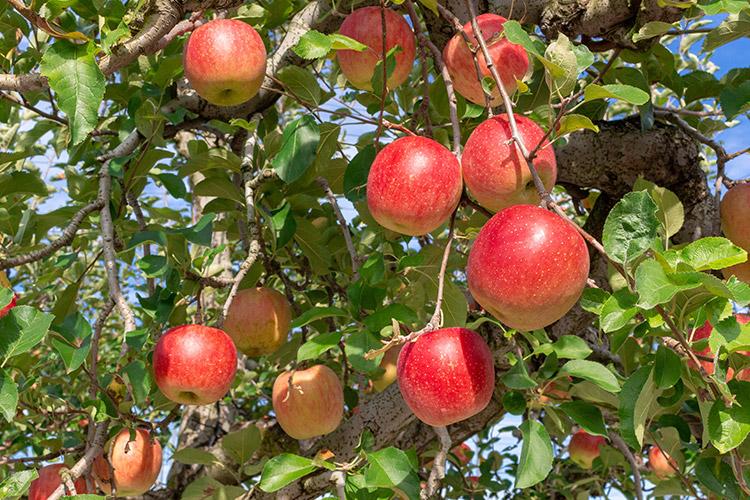 ap_apple1.jpg