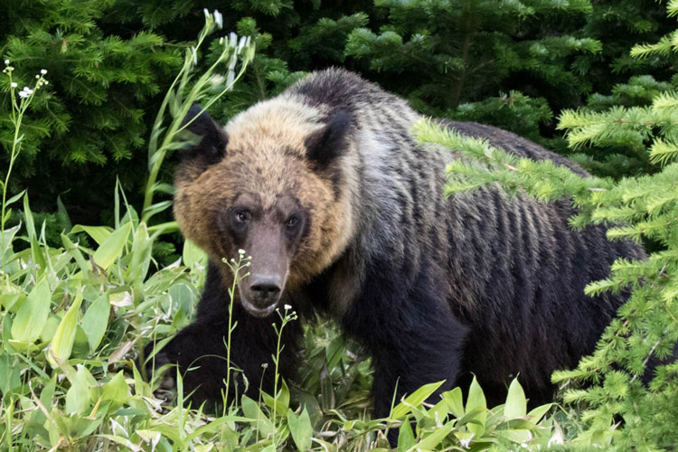 ap_bear1.jpg
