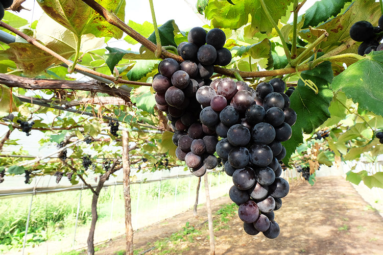 tanikanko_grapes1.jpg